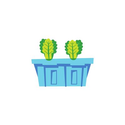 Plant de laitues
